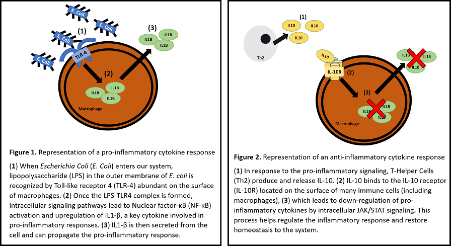 Figure 1. E.coli binds to TLR4 on surface of macrophages, initiating an intracellular signaling cascade that leads to expression of pro-inflammatory cytokine IL-1beta. Figure 2. Th2 cells release anti-inflammatory cytokine IL-10. When IL-10 binds to IL-10 receptors on the surface of macrophages, it has downstream effects that downregulate IL-1beta expression and ameliorate inflammatory reactions.