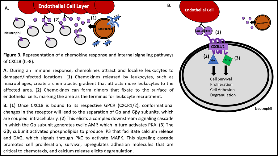 A. Chemotaxis of macrophages to a site of damaged or infected tissue. B. Intercellular signaling mechanism of CXCL8 (IL-8) stimulation of neutrophils.