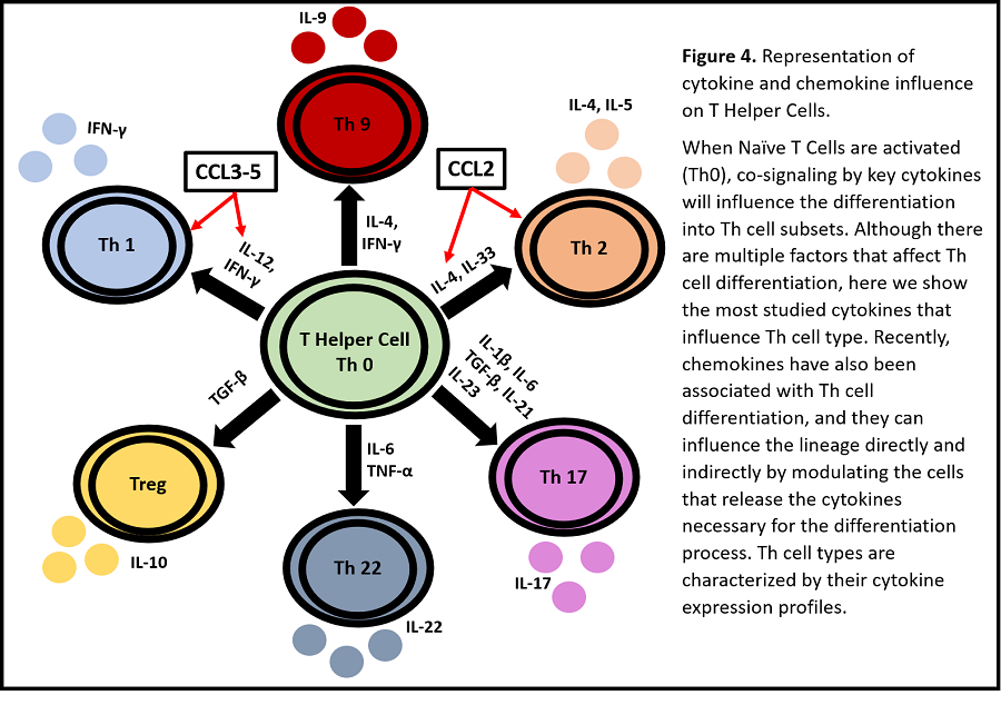 Specific cytokines and chemokines that directly and indirectly influence Th cell differentiation.