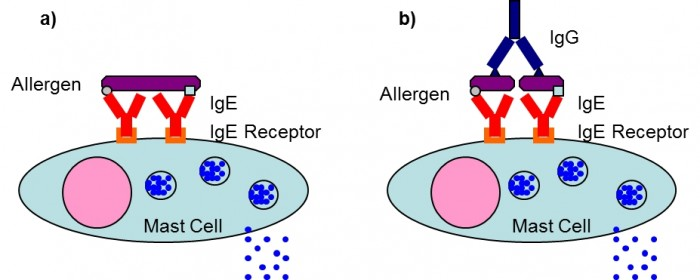 Mast cell degranulation induced by cross-linkage of allergen specific IgE & IgG antibodies