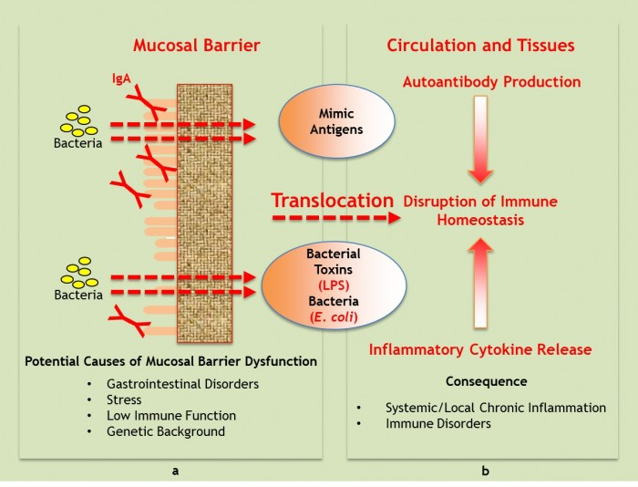 Influence of mucosal barrier dysfunction and bacterial translocation from intestinal lumen on immune homeostasis and inflammatory signaling.