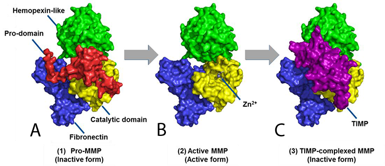 A) Basic structure of inactive MMP, showing hemopexin-like domain, pro-domain, and catalytic domain. B) Activated MMP with the pro-domain proteolytically removed. C) TIMP-MMP Complex with the TIMP blocking the Zn2+ ion in the MMP catalytic site.