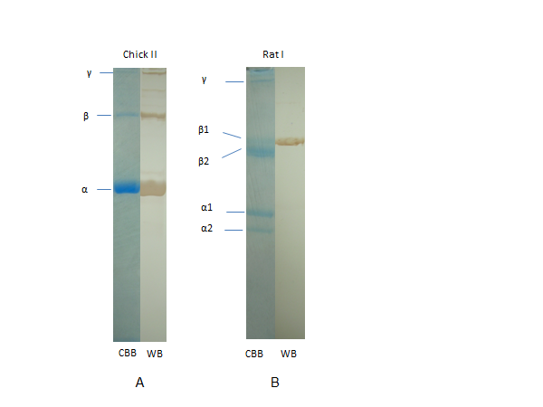 Western Blots of chicken type II collagen and rat type I collagen showing bands at 100 kDa (alpha chains), 200 kDa (beta chains), and 300 kDa (gamma chain).